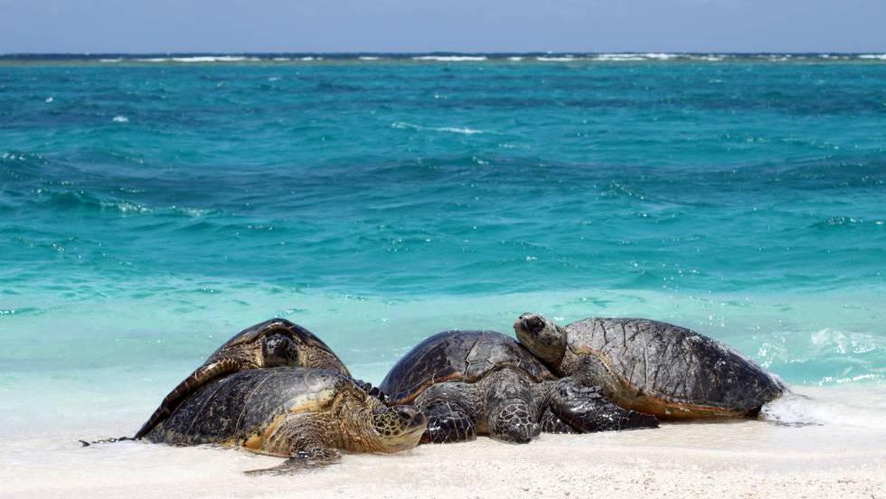 El calentamiento global está alterando los porcentajes de sexos en algunas poblaciones de tortugas marinas del planeta.